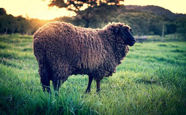 История английской песни Baa, Baa, Black sheep