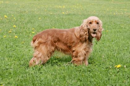 -кокер-спаниель-420x280 Английские породы собак с фото и названиями
