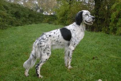-сеттер-420x280 Английские породы собак с фото и названиями
