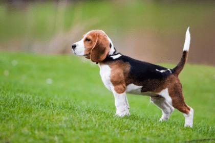 -420x280 Английские породы собак с фото и названиями