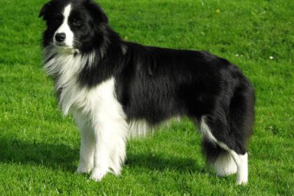 -колли-420x280 Английские породы собак с фото и названиями