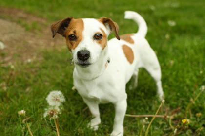 -рассел-терьер-420x280 Английские породы собак с фото и названиями