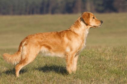 -ретривер-420x280 Английские породы собак с фото и названиями